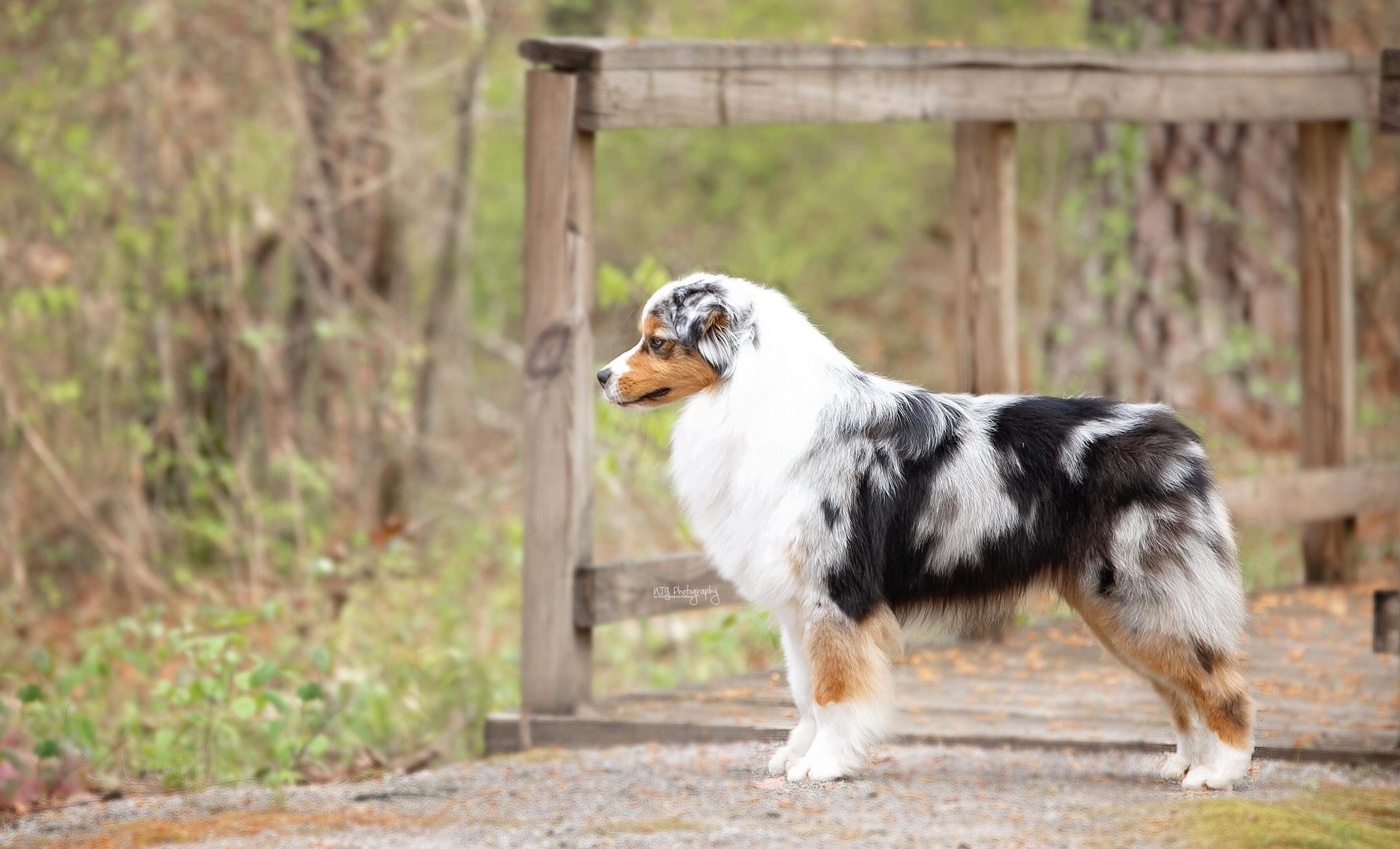 Cahaba Australian Shepherds in Alabama | Find your Australian ...