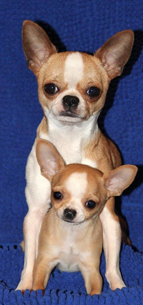Legend Chihuahuas in Tennessee | Find your Chihuahua Puppy ...