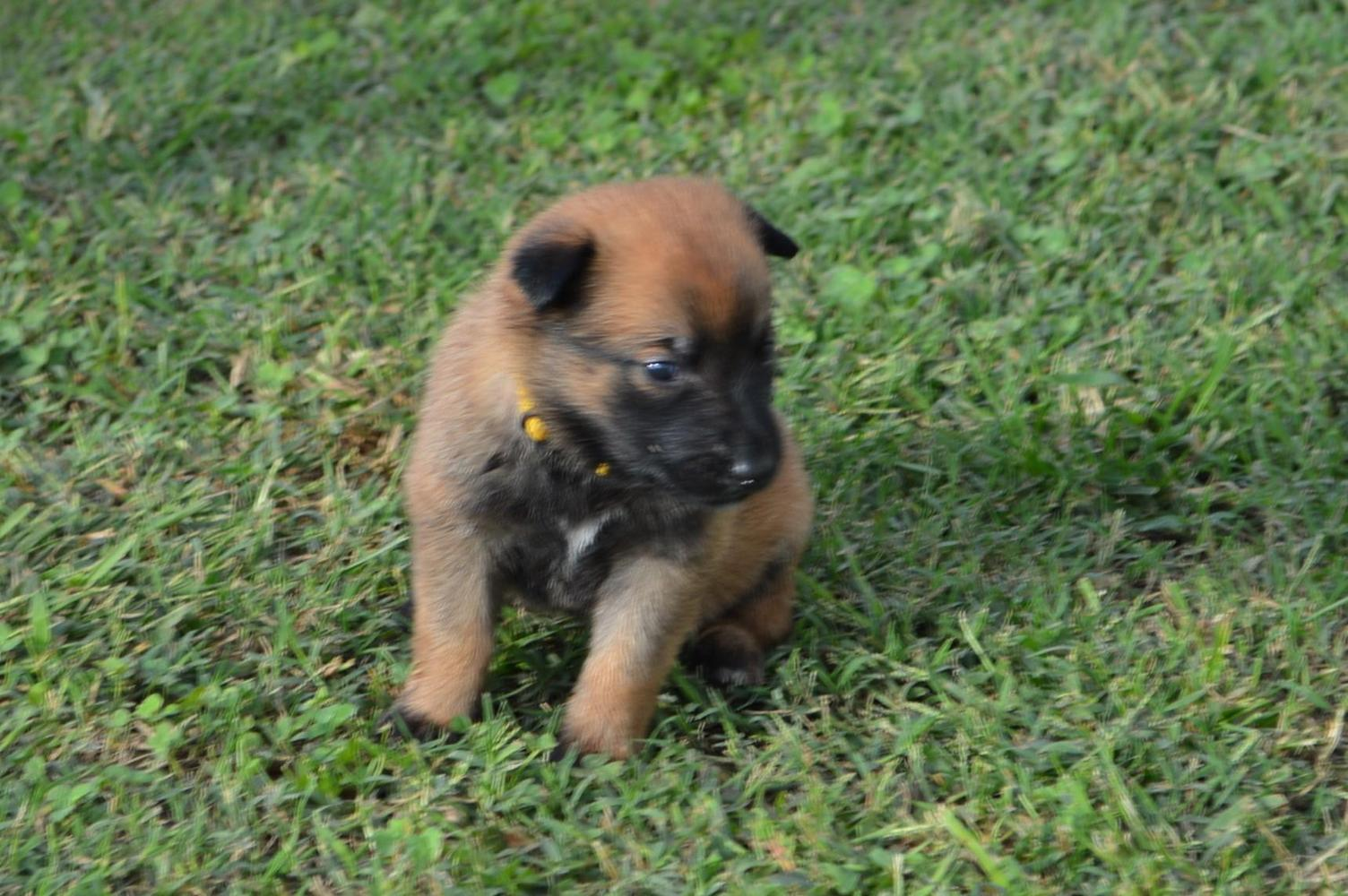 House Of K9 in Oklahoma   Find your Belgian Malinois Puppy ...