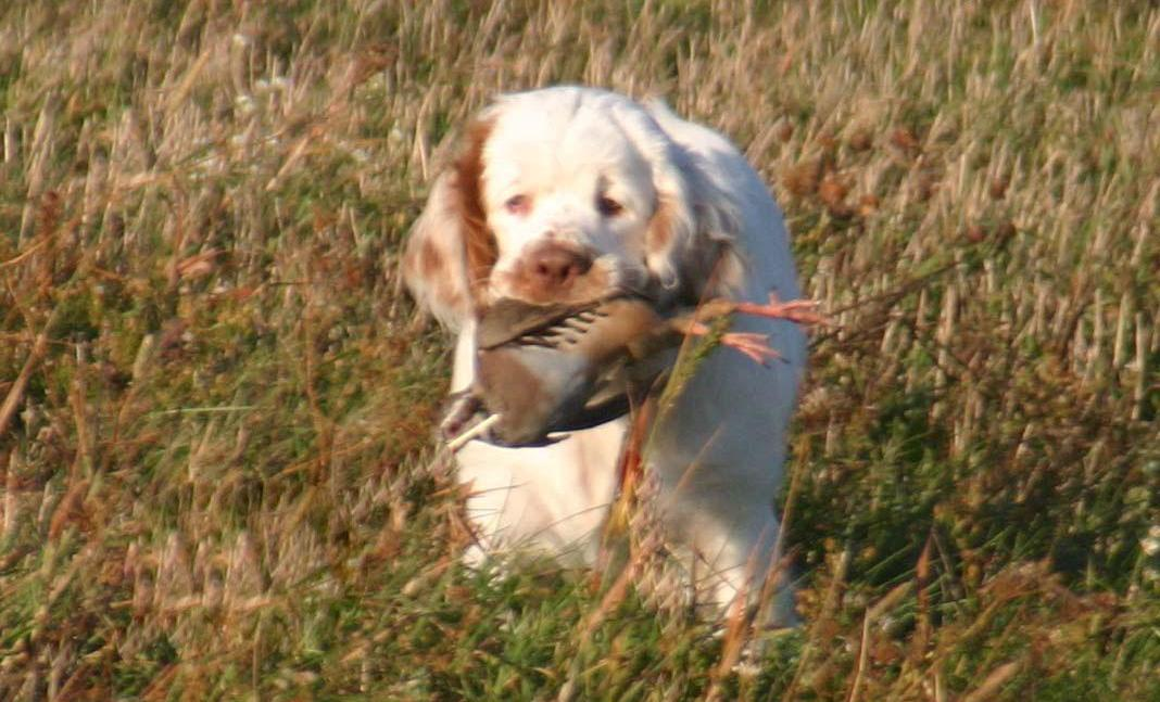 Cupric Clumbers In Michigan Find Your Clumber Spaniel Puppy