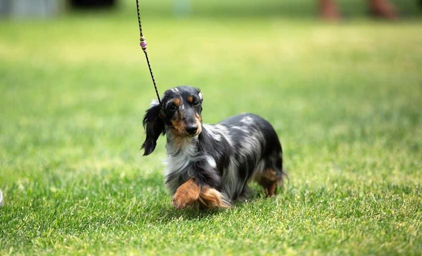 Desert Rose in California | Find your Dachshund Puppy | Good Dog