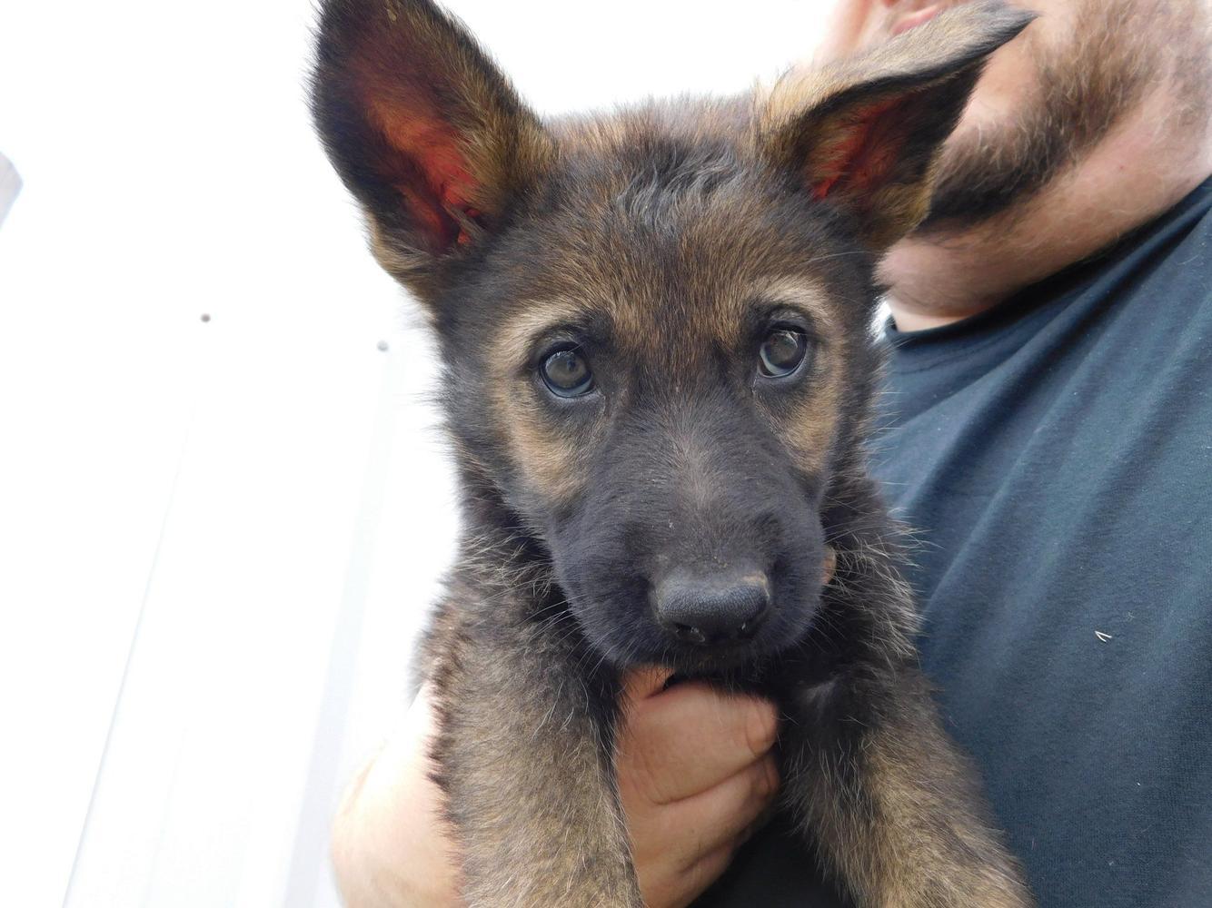 Cheap German Shepherd Puppy Price In Spain