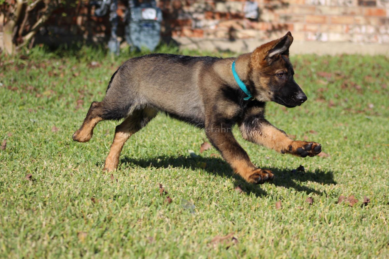 Außer Gefahr German Shepherds in Texas | Find your German ...