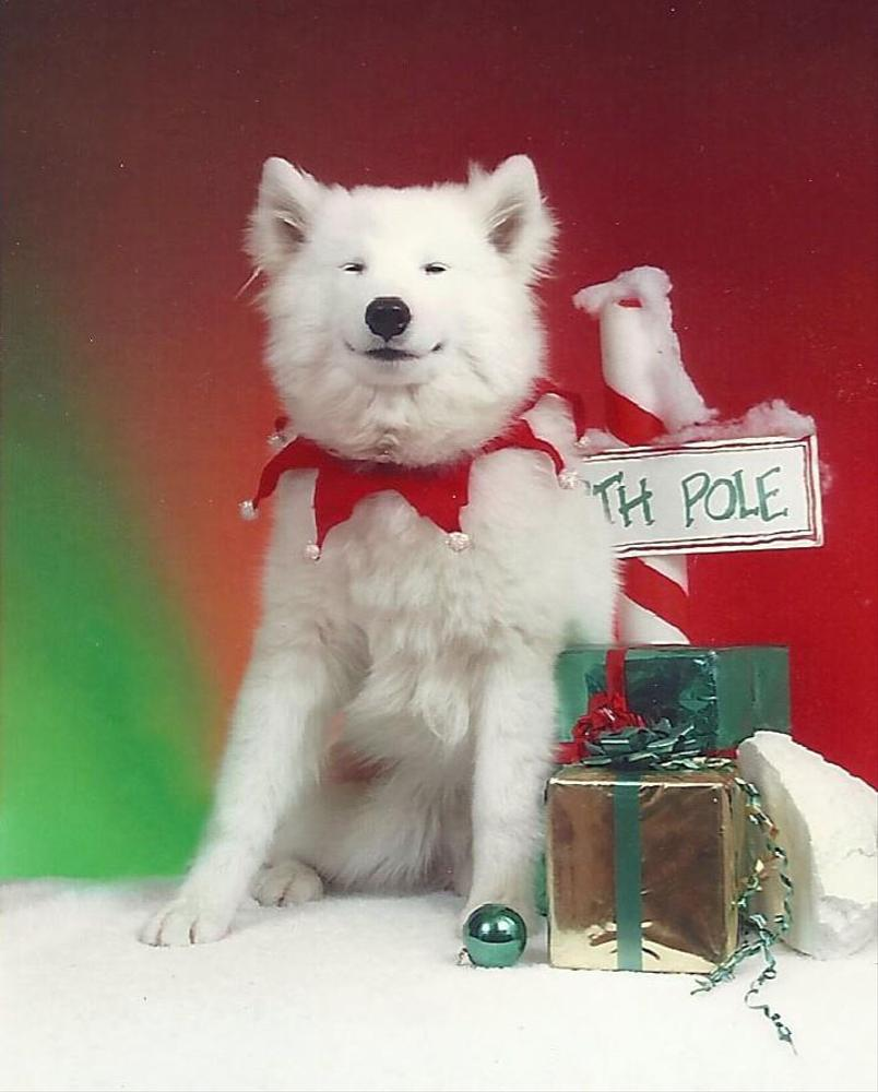 Samoyed Puppies for Sale in Missouri | Fyr'n Ice Samoyed